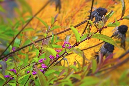 Callicarpa dichotoma 'Early Amethyst' with Rudbeckia hirta and Amsonia hubrichtii - michaela medina harlow - thegardenerseden.com