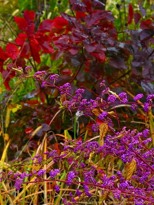 Callicarpa-dichotoma-with-Cotinus-coggygria-and-Miscanthus