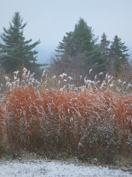 Flame Grass - Miscanthus sinensis purpurascens with snow in November - michaela medina harlow - thegardenerseden.com