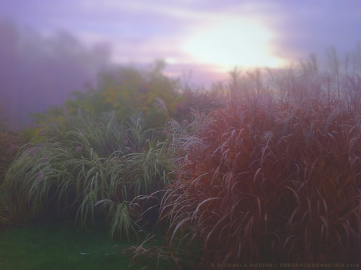 Moody Morning in the Autumn Garden Miscanthus sinensis cultivars - michaela medina harlow - thegardenerseden.com