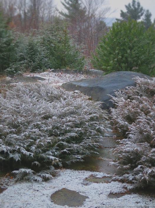Siberian Cypress -Microbiota decussata with snow -michaela medina harlow - thegardenerseden.com