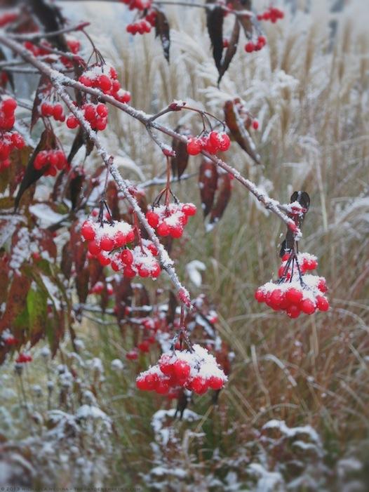 Tea Viburnum Fruits (Viburnum setigerum) with Snow - michaela medina harlow