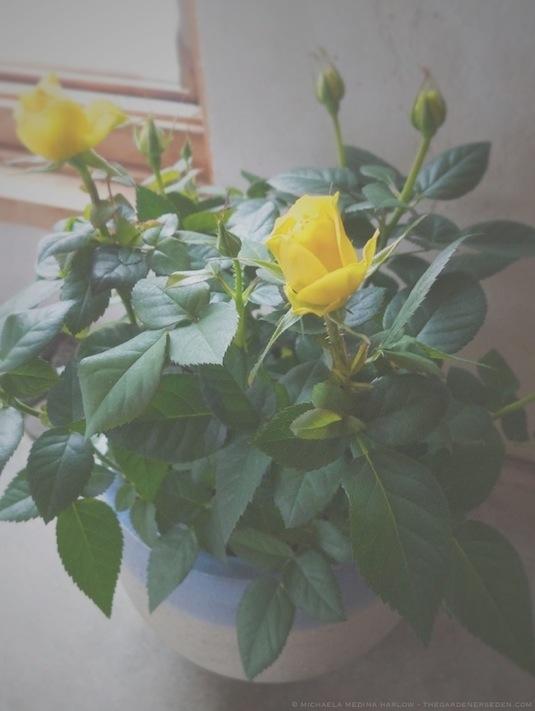 Miniature_Roses_copyright_2014_michaelamedinaharlow:thegardenerseden.com