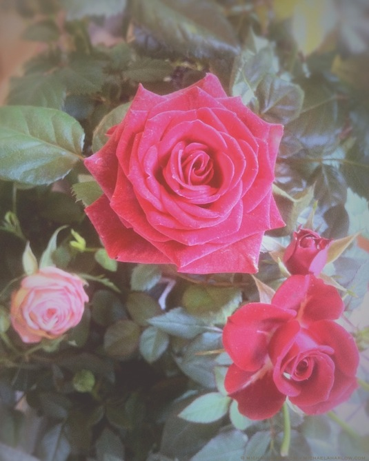 Red_and_Pink_miniature_roses_copyright_michaela_medina_harlow_thegardenerseden.com