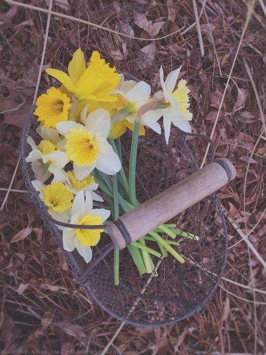 Basket of Daffodils - Michaela Harlow - thegardenerseden.com