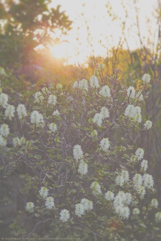 Fothergilla_major_'Mt._Airy'_ in_the_May_garden_michaela_harlow_thegardenerseden.com_all_rights_reserved