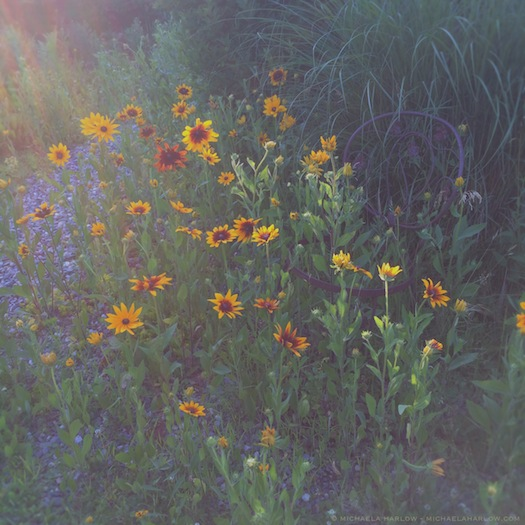 Rudbeckia_hirta_'Becky_Mixed'_in_the_Wildflower_Walk_2014_Michaela_Harlow_thegardenerseden.com