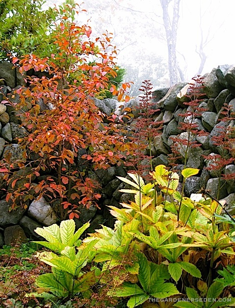 stewartia-and-rodgersia-ⓒ-Michaela-at-TGE