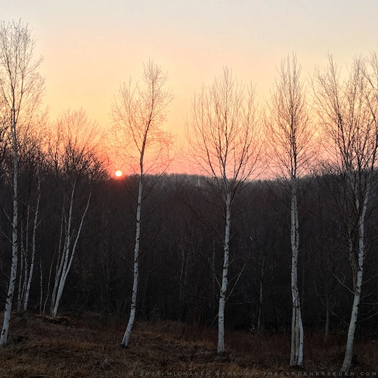 Betula papyrifera at sunrise - Michaela Harlow