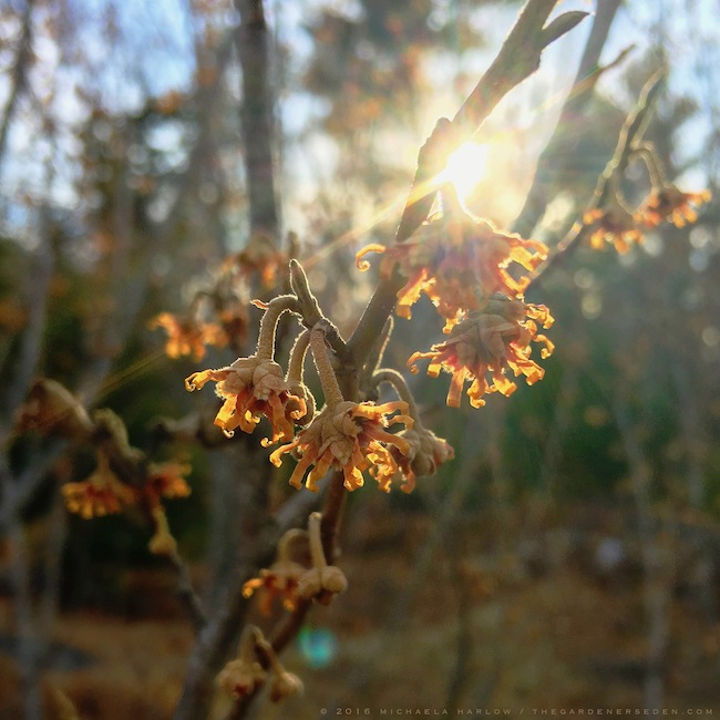 Hamamelis vernalis, Ozark witch hazel in bloom, Michaela Harlow, thegardenerseden.com
