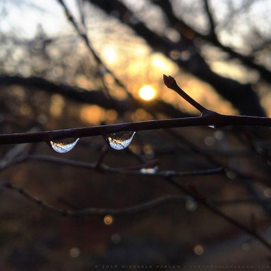 Raindrops on Acer palmatum,2016 Michaela Harlow, The Gardener's Eden