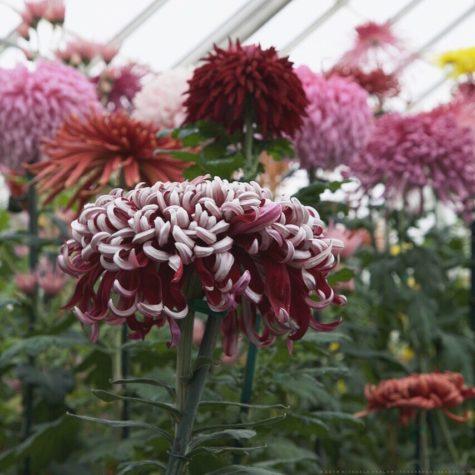 Chrysanthemum X Morifolium Lili Gallon The Gardener S Eden